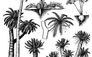 Семейство Саговниковых растений: список, описание, роды и виды