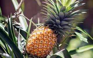 Выращивания ананаса из верхушки плода – пошаговая инструкция