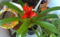 Цветок Бромелия: уход в домашних условиях, фото, размножение и виды