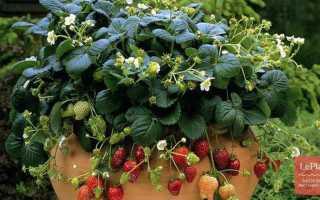 Когда сеять землянику на рассаду  в домашних условиях