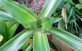 Семейство Коммелиновых растений: список, описание, роды и виды