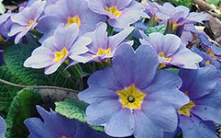 Цветок Примула: уход в домашних условиях, фото и виды, выращивание из семян