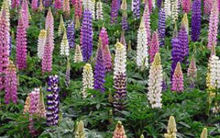 Растения-сидерат: лучшие для сада, выращивание на огороде