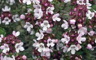 Растение тимьян (чабрец): выращивание из семян в открытом грунте, фото, уход в домашних условиях