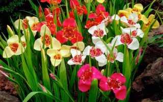 Цветок тигридия: посадка и уход в открытом грунте, фото, выращивание и зимовка