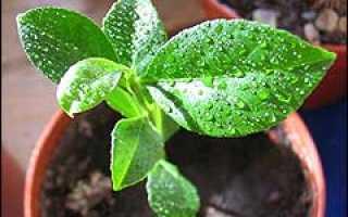 Виды цитрусовых растений и выращивание их из семян