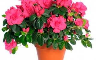 Цветок Азалия: уход в домашних условиях, фото, посадка и размножение