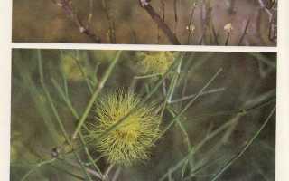 Семейство Гречишных растений: список, описание, роды и виды