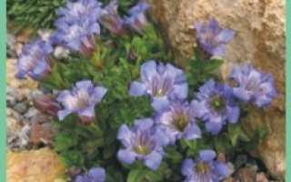 Семейство Горечавковых растений: список, описание, роды и виды
