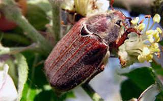 Майский жук (хрущ): как избавиться, средства, обработка, борьба народными средствами