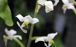 Орхидея Лудизия: уход в домашних условиях, размножение, пересадка, субстрат