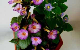 Цветок Ахименес: уход в домашних условиях, фото и виды, размножение и пересадка