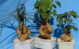 Растение Брахихитон: уход в домашних условиях, фото и виды, дерево счастья