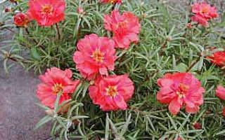 Семейство Портулаковых растений: список, описание, роды и виды