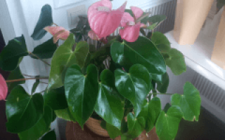 Антуриум в домашних условиях – уход и выращивание, полив