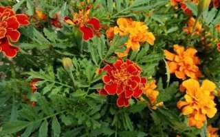 Цветы однолетники – названия и фото, цветущие и лиственные