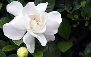Семейство Мареновых растений: список, описание, роды и виды
