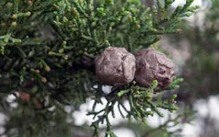 Семейство Сосновых растений: список, описание, роды и виды
