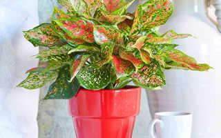 Цветок Аглаонема: уход в домашних условиях, фото и виды, размножение